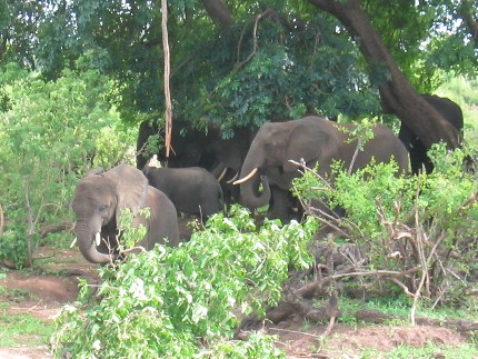 Chobe National Park - éléphants