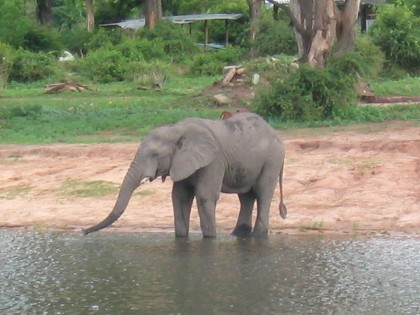 Chobe National Park - éléphant
