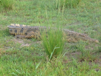 Chobe National Par - crocodile
